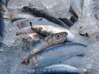 Microsplásticos en los peces del Mediterráneo occidental