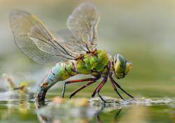 Alterações climáticas: as libélulas estão a migrar para Norte
