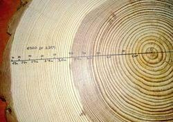 Anillos de árboles dan indicios de eventos de actividad solar extrema