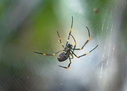 Australie : des toiles d'araignées géantes dans le sud du pays
