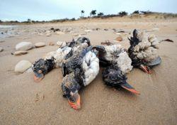 Aves marinhas morrem de fome em tempestades no Hemisfério Norte