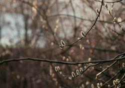 Calentamiento global y el nacimiento de hojas de los árboles