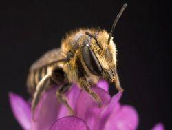 Contaminación: abejas construyen sus nidos enteramente de plástico