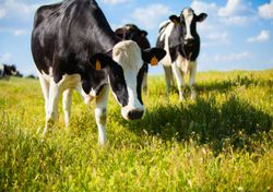 Cows are being 'toilet-trained' to reduce their waste emissions