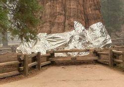 Insolite : le plus grand arbre de la planète a été recouvert !