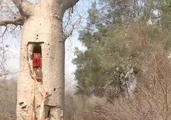 Adaptarse a la sequía o desaparecer: los sorprendentes árboles-botella
