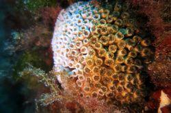 Impacto del cambio climático en los corales mediterráneos
