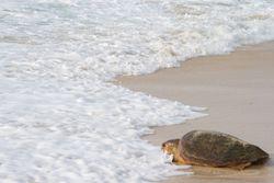 Las tortugas en el Mediterráneo occidental y los plásticos
