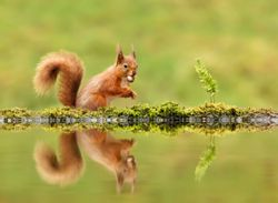 Red squirrels could be saved from UK extinction by Scottish forests