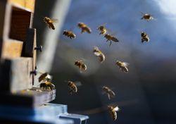 ¿Todas las abejas producen miel? Chile cuenta con 450 especies nativas