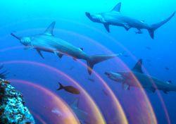 Tubarões usam o campo magnético da Terra como GPS