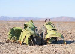 Welwitschia : cette plante immortelle aux propriétés incroyables !
