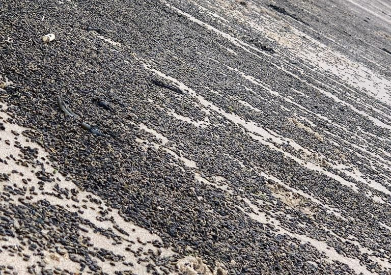 Invasão de besouros em praias do condado de Yorkshire.