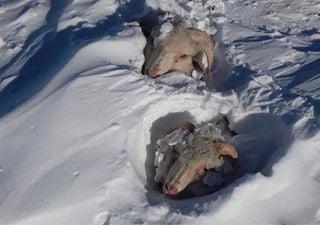 Neve e temperaturas congelantes matam animais na Patagônia