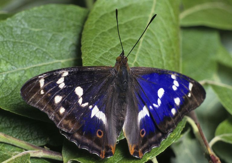 Rare purple emperor butterflies have returned to the Knepp Estate