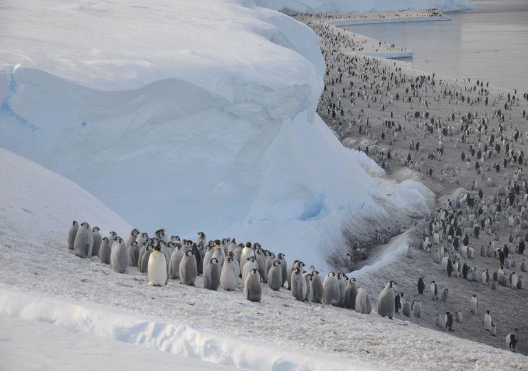 Emperor penguins on sea ice in the Antarctic © Christopher Walton.