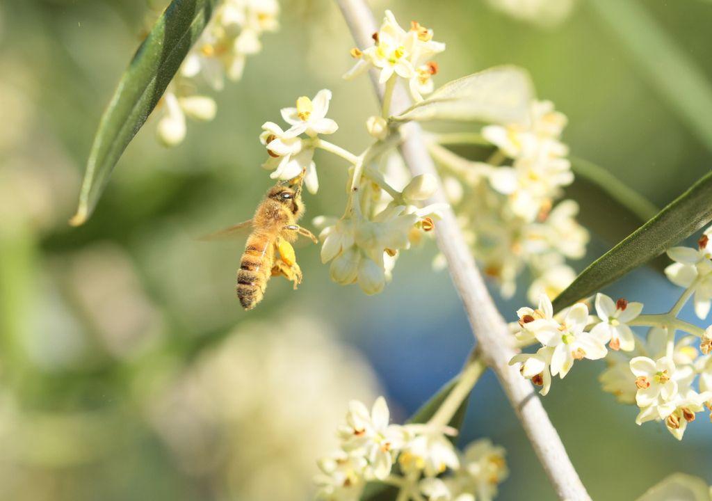 olivo y polen