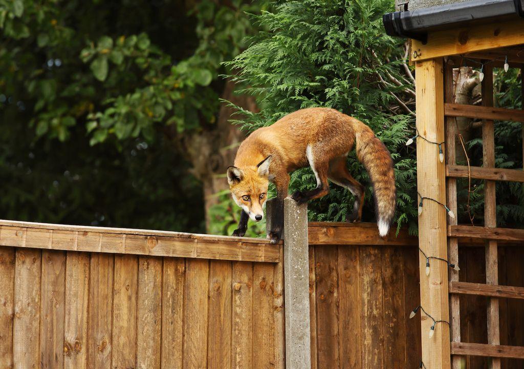 Urban fox in garden.