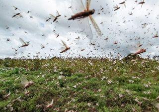 Nova nuvem de gafanhotos ameaça Sul do Brasil