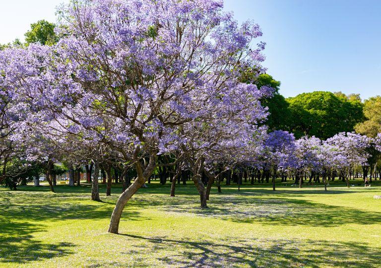 Jacarandás Buenos Aires