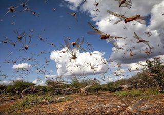 Nuvem de gafanhotos se aproxima de plantações no Brasil