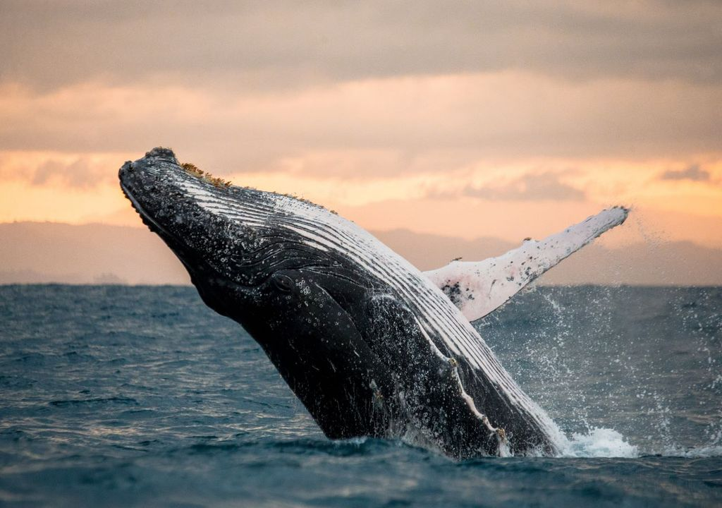 Humpback whales have recovered from near-extinction.