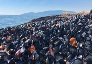 Onda de calor mata milhões de mexilhões e mariscos no Canadá