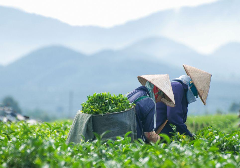 Os cultivos de chá poderão ser atingidos pelas alterações climáticas