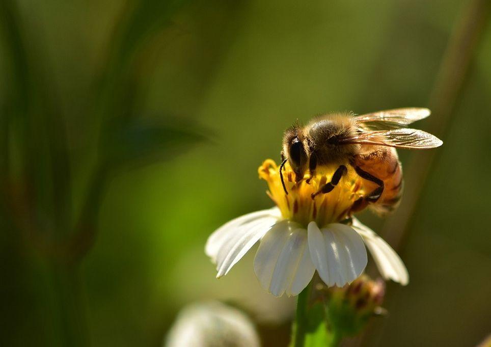 ape-apicoltura-impollinazione