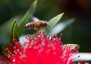 Une abeille australienne redécouverte après 100 ans de disparition