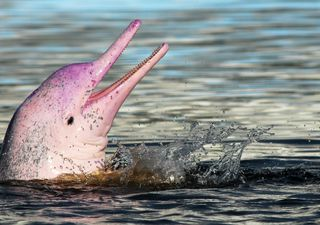 Pink dolphins populate Hong Kong waters after pandemic halts ferries
