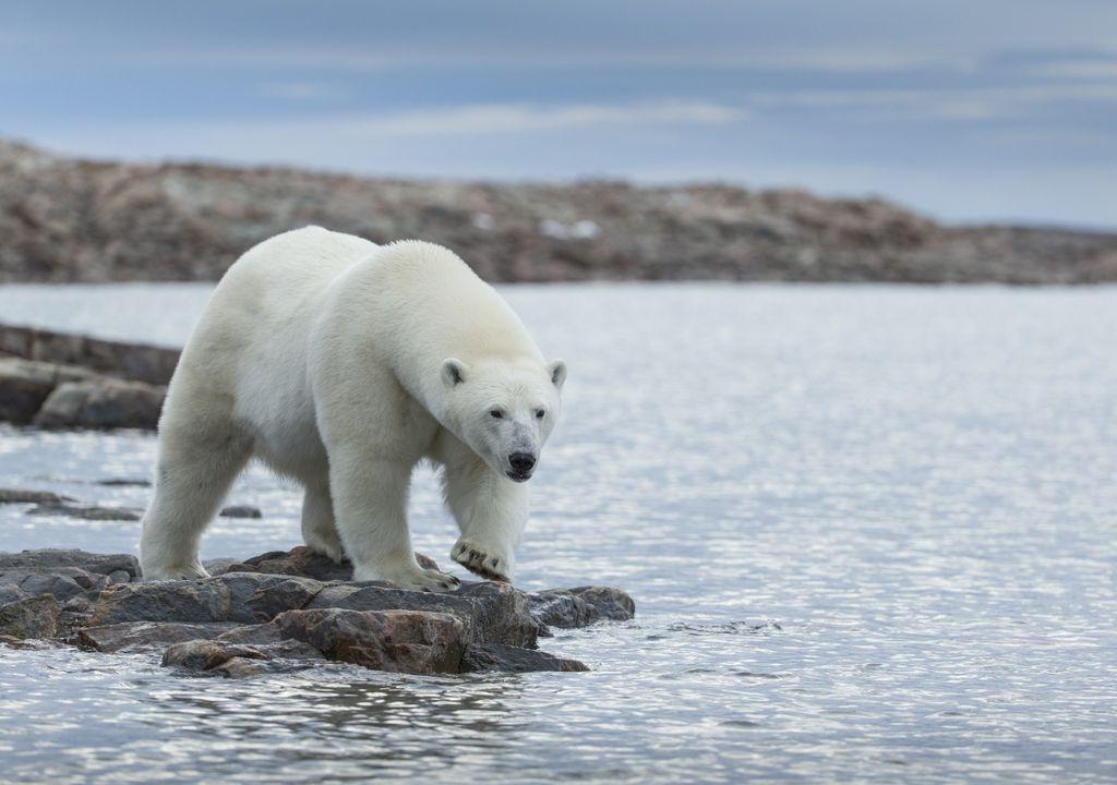 Oso polar cambio climático calentamiento global