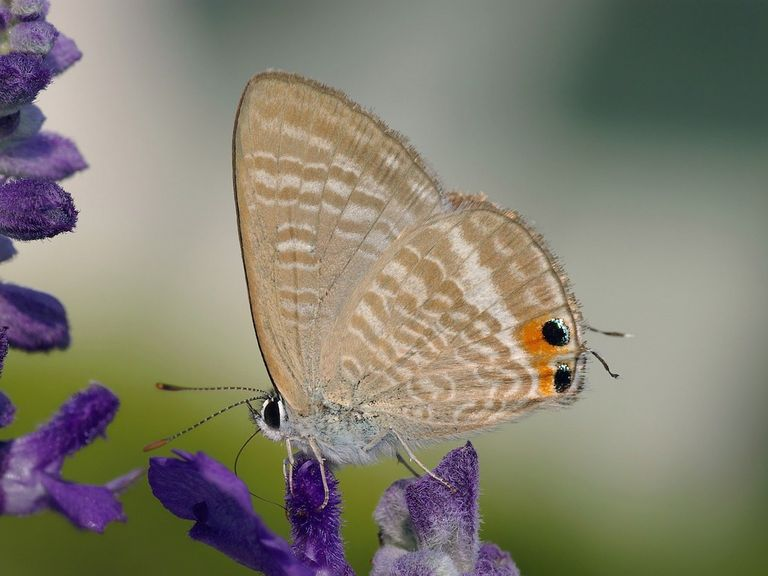 Long-tailed blue butterfly.