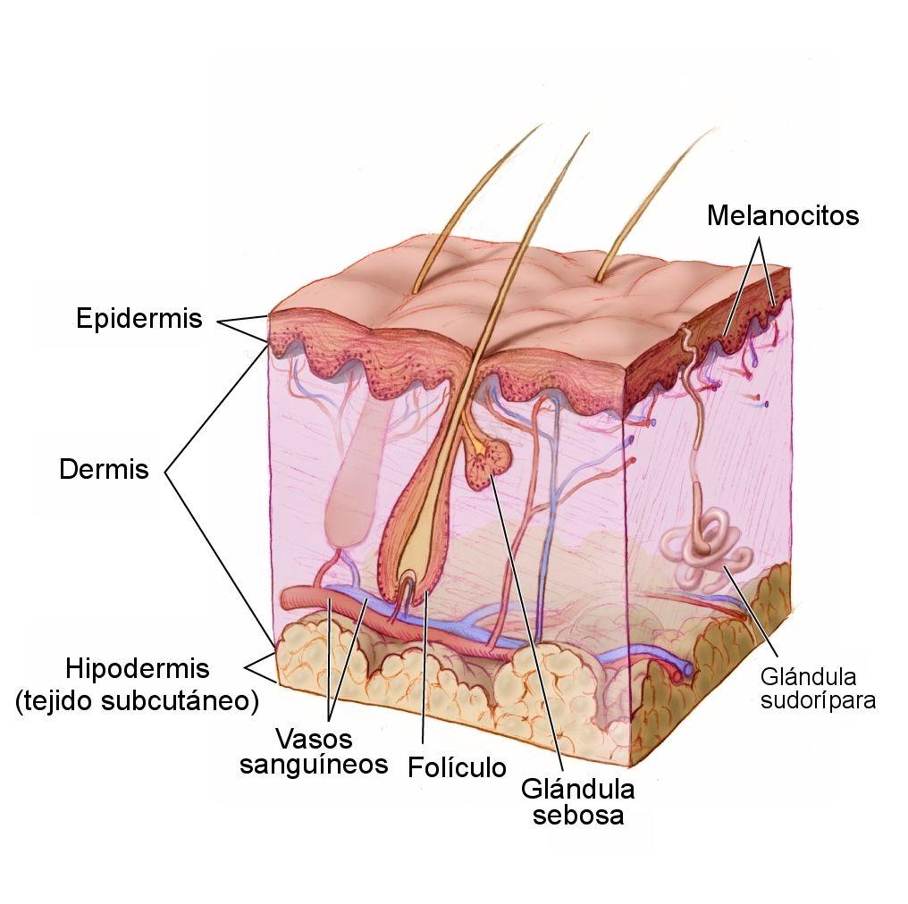 Receptores humanos de la temperatura, humedad, etc., Nobel de Medicina