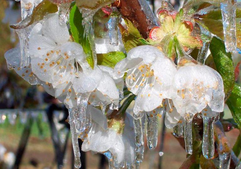Flor del ciruelo congelada