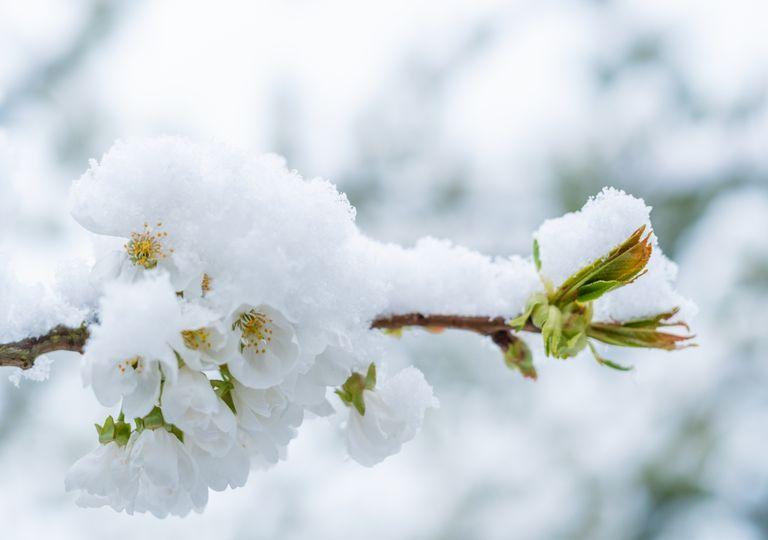 Mai-Schnee
