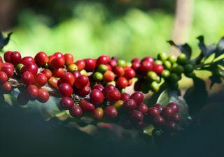 Seca provoca prejuízos no café, com falta de chuva afetando até 2022