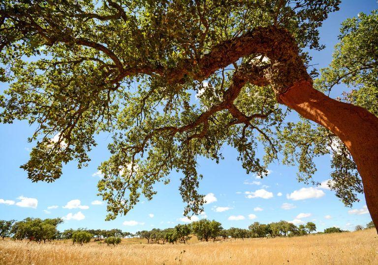 sobreiro planície sol calor Beja Alentejo Portugal