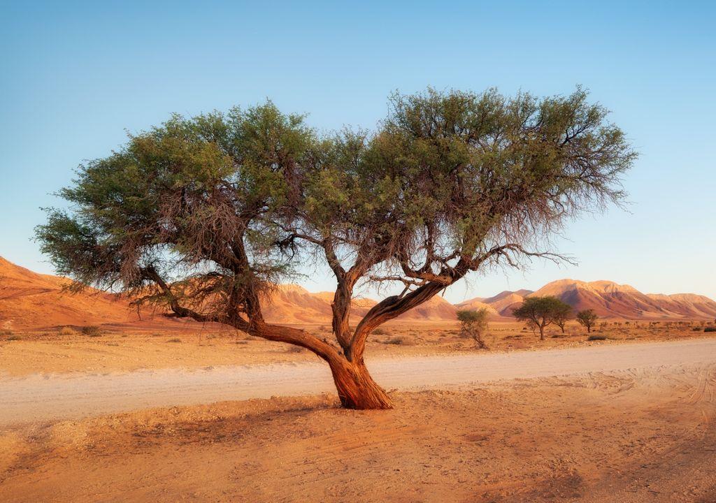 Árvores do Deserto do Saara