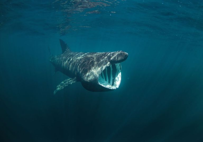 Basking sharks can be seen off the coasts of Cornwall and Scotland