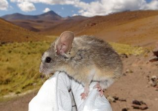 Sudamérica: encontraron un mamífero a 6.739 m de altitud