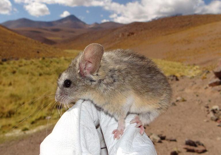 raton, mamifero, evolucion, altitud