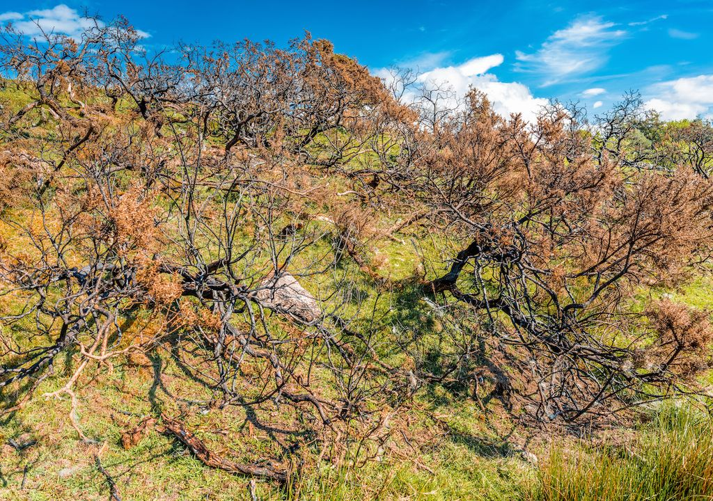 Scorched shrubs during hot temperatures as a result of fires.