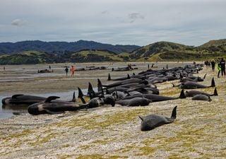 Australie : 380 cétacés meurent dans une baie de Tasmanie, un record