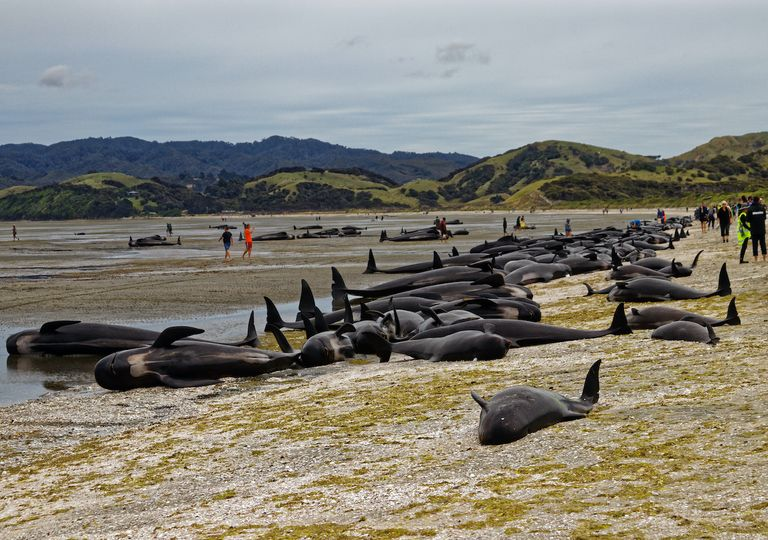 Stranded pilot whales in New Zealand.