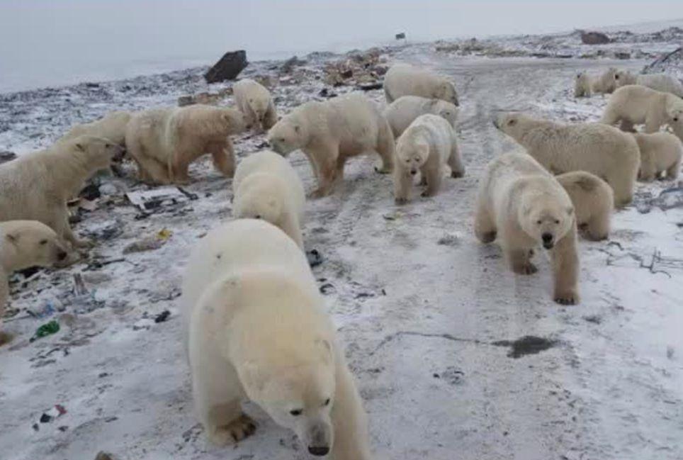 Osos polares Rusia
