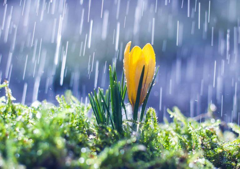 Flor amarela à chuva