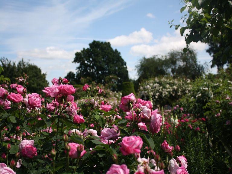 An English rose bush in a public park.
