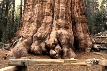 """Conheça a """"General Sherman"""": a maior árvore do mundo"""