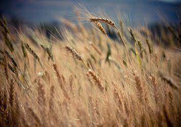 El frío como mejor aliado del trigo
